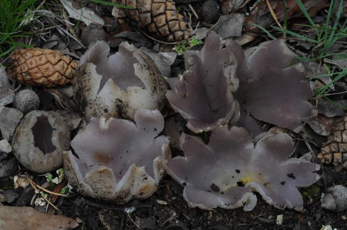 Sarcosphaera coronaria sota alzines i pins a la Serra d'Oix el 02-06-2018.